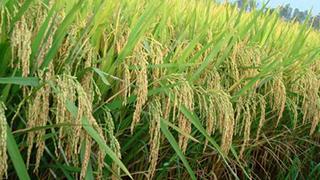 湖南:高档优质稻扩种
