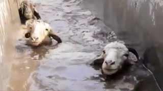 新疆羊群即将转场